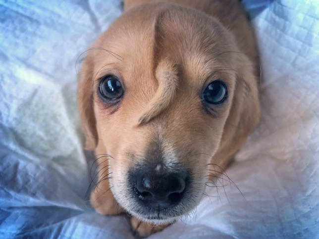 Narwhal the unicorn puppy to stay with Missouri animal rescue group for the time being