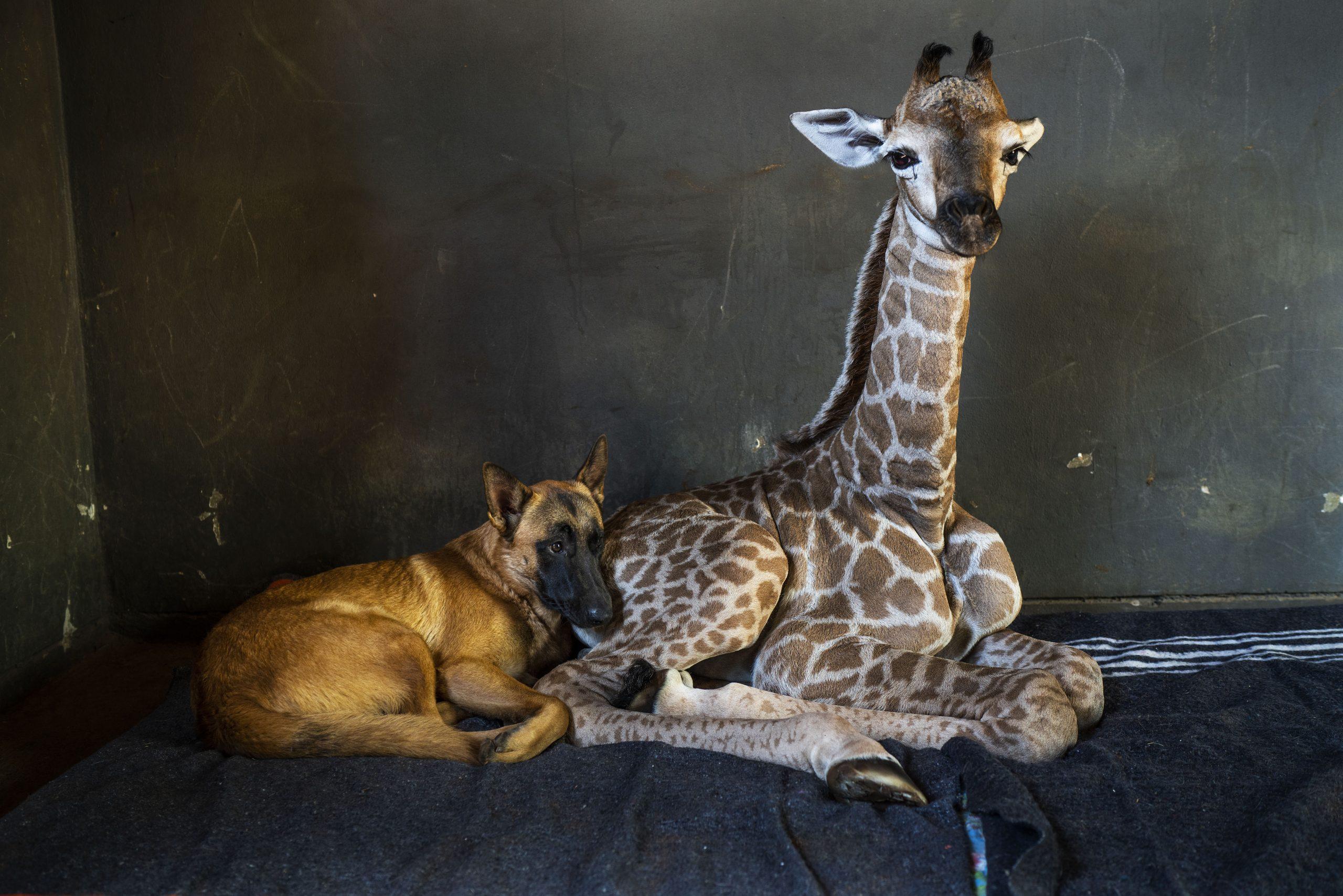 Fox News Today: Abandoned baby giraffe in South Africa, who pics went viral after befriending dog, dies