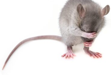 HOW TO HANDLE MICE POOPS OR DROPPINGS