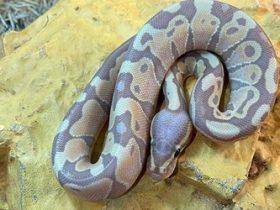 Do pet ball pythons like a tropical terrarium?